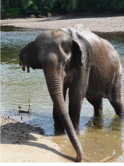 Female ♀ Asian elephant (Elephas maximus) Songkran at Kanchanaburi Elephants World