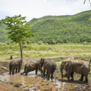 Mud bath for our elephants