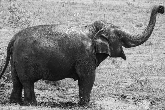 Kammoon • ElephantsWorld