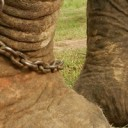 Unchain elephant campaign