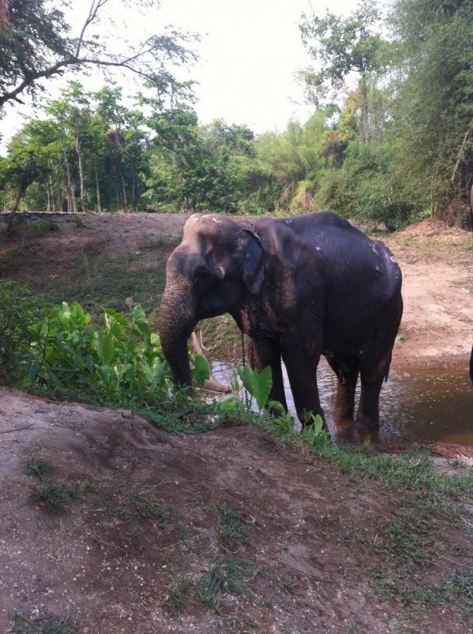 Male ♂ Asian elephant (Elephas maximus) Tong-Kam at Kanchanaburi Elephants World