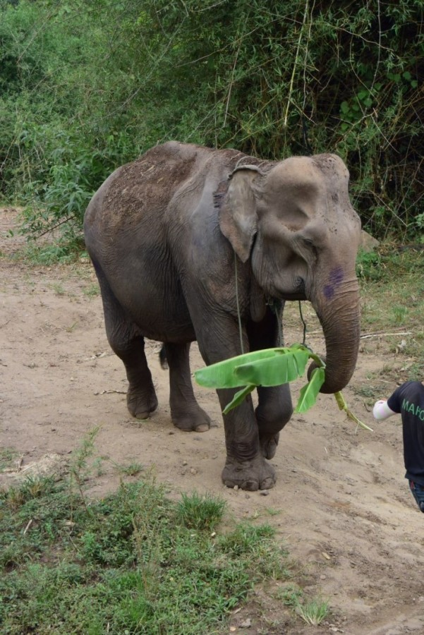 Female ♀ Asian elephant Touk-Ka-Ta at Kanchanaburi Elephants World