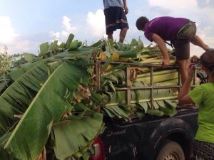 Filling up the truck with banana trees