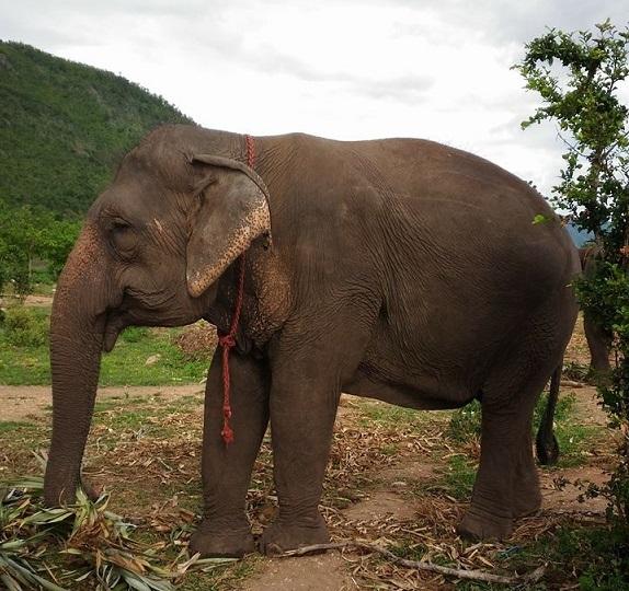 Female ♀ Asian elephant (Elephas maximus) Jarunee at Kanchanaburi Elephants World
