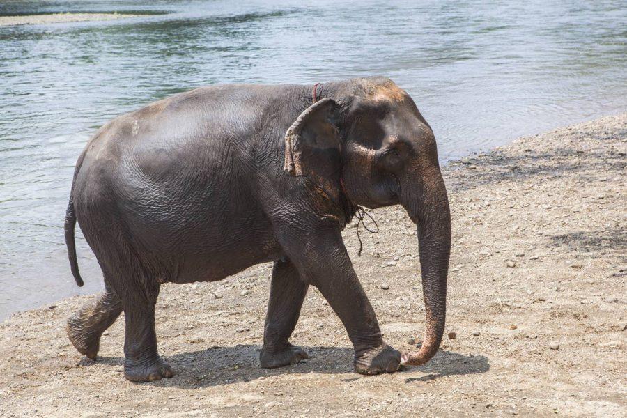 Female ♀ Asian elephant (Elephas maximus) Nong Mai at Kanchanaburi Elephants World