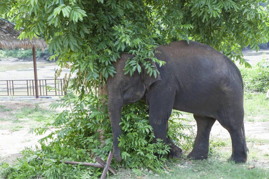 Kanta • ElephantsWorld