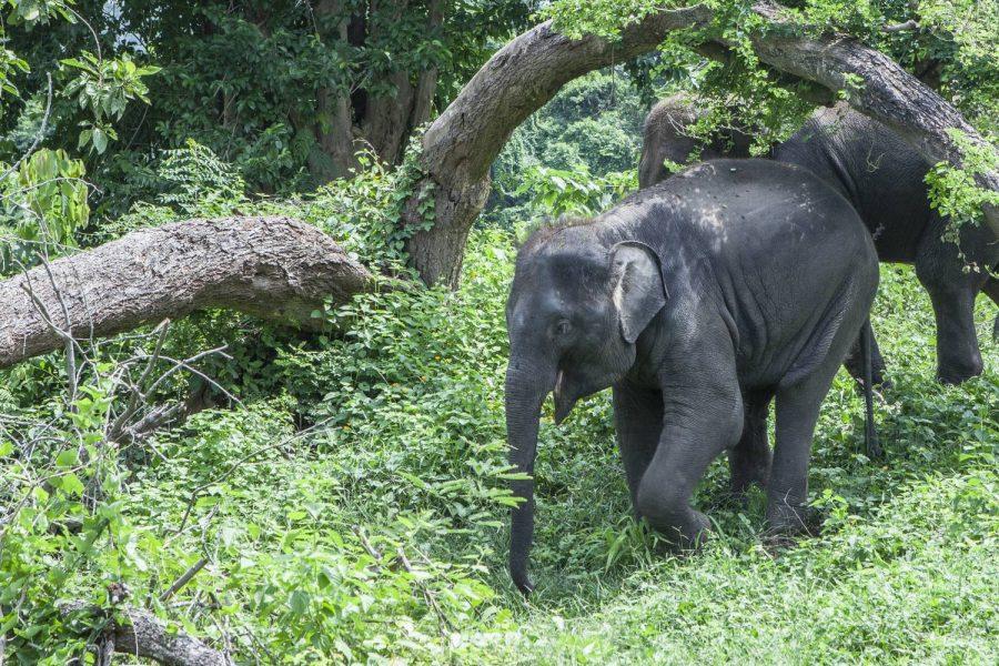 Female ♀ Asian elephant (Elephas maximus) Spy at Kanchanaburi Elephants World