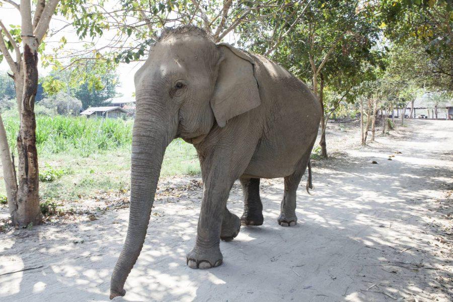 Dok Mai • ElephantsWorld