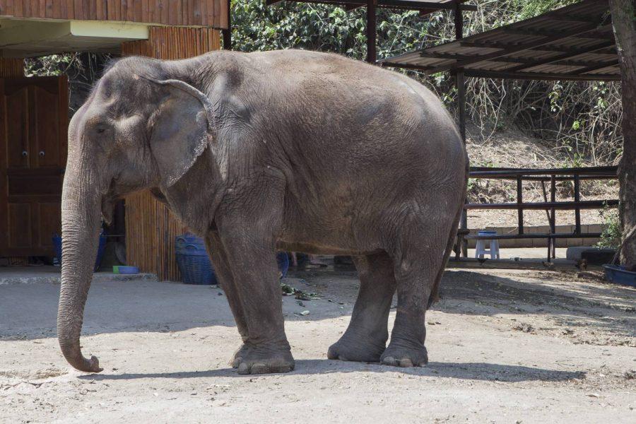 Kampang • ElephantsWorld