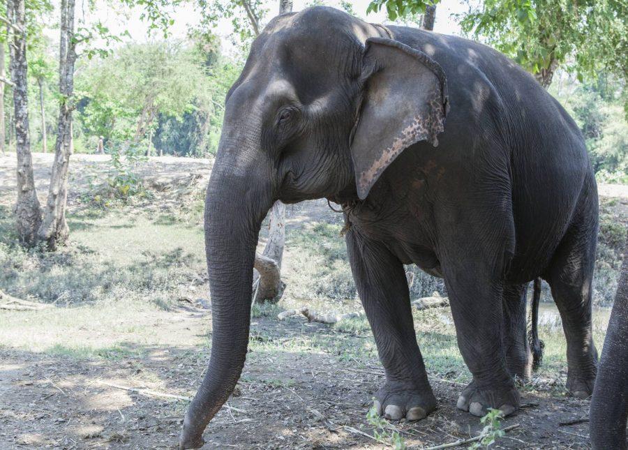 Female ♀ Asian elephant (Elephas maximus) To Me at Kanchanaburi Elephants World